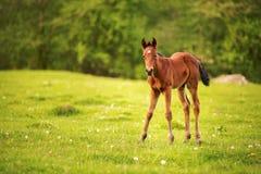 Νέο foal ενός σκοτεινού καφετιού χρώματος είναι βοημένο σε έναν πράσινο τομέα σε ένα κλίμα ενός νέου δάσους στις ακτίνες Στοκ φωτογραφία με δικαίωμα ελεύθερης χρήσης