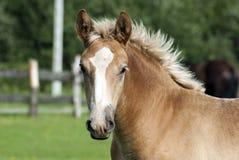 Νέο foal Στοκ Φωτογραφίες