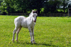 Νέο Foal Στοκ φωτογραφία με δικαίωμα ελεύθερης χρήσης
