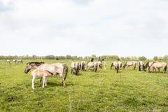 Νέο foal Konik πόσιμο γάλα Στοκ Εικόνες
