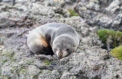 Νέο forsteri Arctocephalus σφραγίδων γουνών της Νέας Ζηλανδίας σε έναν βράχο στις άγρια περιοχές Στοκ εικόνες με δικαίωμα ελεύθερης χρήσης