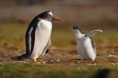 Νέο gentoo penguin Στοκ φωτογραφία με δικαίωμα ελεύθερης χρήσης