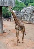 Νέο giraffe Στοκ Εικόνα