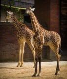 Νέο Giraffe στοκ εικόνες με δικαίωμα ελεύθερης χρήσης