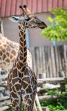 Νέο Giraffe Στοκ Φωτογραφία