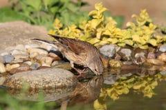 Νέο Goldfinch πίνει το νερό Στοκ Φωτογραφίες