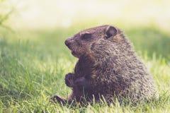 Νέο Groundhog κρατά την ουρά μεταξύ των ποδιών σε ένα πρωί άνοιξη Στοκ Εικόνες