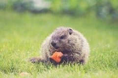 Νέο Groundhog με ένα κομμάτι καρότων στην πράσινη χλόη Στοκ φωτογραφίες με δικαίωμα ελεύθερης χρήσης