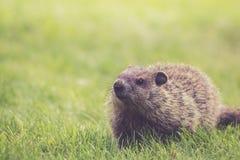 Νέο Groundhog που περπατά στην πράσινη χλόη το πρωί Στοκ Εικόνες