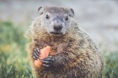 Νέο Groundhog Marmota Marmox με το καρότο Στοκ Εικόνες