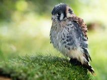 Νέο krestel, κομμάτι υγρό με τα φτερά μωρών στοκ φωτογραφία με δικαίωμα ελεύθερης χρήσης