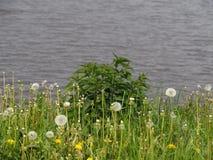 Νέο nettle Μπους στις ακτές της λίμνης στοκ φωτογραφίες με δικαίωμα ελεύθερης χρήσης