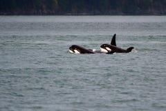 Νέο Orcas Στοκ φωτογραφία με δικαίωμα ελεύθερης χρήσης