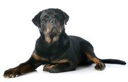 Νέο rottweiler στοκ εικόνες
