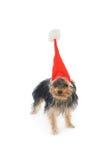 νέο s έτος Γιορκσάιρ τεριέ κ& Στοκ φωτογραφία με δικαίωμα ελεύθερης χρήσης