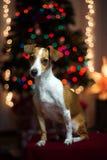 νέο s έτος σκυλιών Στοκ Φωτογραφίες
