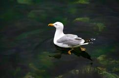 Νέο seagul στα σαφή πράσινα νερά Στοκ Εικόνες