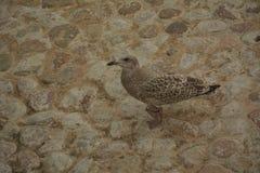 Νέο seagull στους βράχους στοκ εικόνα με δικαίωμα ελεύθερης χρήσης