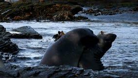 Νήσοι Φώκλαντ, νότια σφραγίδα ελεφάντων φιλμ μικρού μήκους