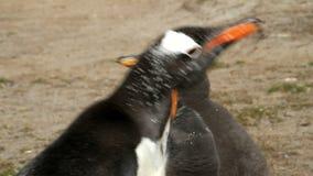 Νήσοι Φώκλαντ, σίτιση νέου Penguins φιλμ μικρού μήκους