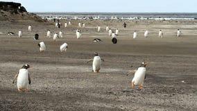 Νήσοι Φώκλαντ, Gentoo Penguins που έρχονται κατ' οίκον φιλμ μικρού μήκους