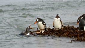 Νήσοι Φώκλαντ, Gentoo Penguins φιλμ μικρού μήκους