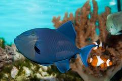 Νίγηρας Triggerfish Στοκ Εικόνες