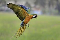 Νίκαια macaw που πετά στο αγρόκτημα φύσης Στοκ Εικόνες