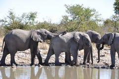 Ναμίμπια: Ένα κοπάδι των ελεφάντων στο waterhole σε Etosha εθνικό στοκ φωτογραφίες με δικαίωμα ελεύθερης χρήσης