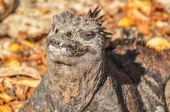 ναυτικό νησιών iguana του Ισημερινού galapagos Στοκ φωτογραφία με δικαίωμα ελεύθερης χρήσης