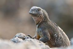ναυτικό iguana Στοκ Φωτογραφίες