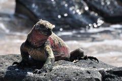 ναυτικό iguana Στοκ Εικόνες