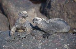 ναυτικό iguanas Στοκ Εικόνες