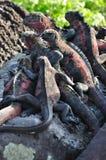 ναυτικό iguanas Στοκ εικόνες με δικαίωμα ελεύθερης χρήσης