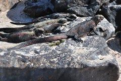 ναυτικό iguanas Στοκ φωτογραφίες με δικαίωμα ελεύθερης χρήσης