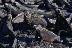 ναυτικό iguanas Στοκ εικόνα με δικαίωμα ελεύθερης χρήσης