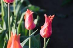 Ναός των λουλουδιών τουλιπών ομορφιάς Στοκ εικόνες με δικαίωμα ελεύθερης χρήσης