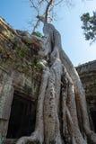 Ναός TA Prohm με το στενό επάνω γιγαντιαίο banyan δέντρο Στοκ Εικόνα