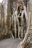 Ναός TA Prohm Στοκ Εικόνες