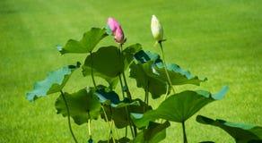 Ναός Todaiji λουλουδιών Lotus στο Νάρα στοκ εικόνες με δικαίωμα ελεύθερης χρήσης