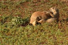 Να αγκαλιάσει στοργικά σκυλιών λιβαδιών Στοκ Εικόνες