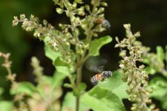 Να αιωρηθεί μελισσών μελιού Στοκ εικόνα με δικαίωμα ελεύθερης χρήσης