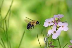 να αιωρηθεί μελισσών Στοκ Εικόνες