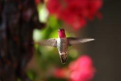 να αιωρηθεί hummer Στοκ φωτογραφία με δικαίωμα ελεύθερης χρήσης