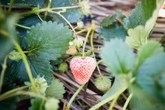 να αναπτύξει θερμοκηπίων κήπων φράουλα Στοκ φωτογραφία με δικαίωμα ελεύθερης χρήσης