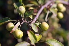 να αναπτύξει κλάδων μήλων δέ&n Στοκ Φωτογραφία