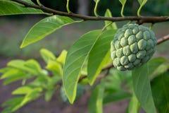 να αναπτύξει κρέμας μήλων δέν Στοκ Εικόνα