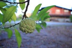 να αναπτύξει κρέμας μήλων δέν Στοκ Φωτογραφία