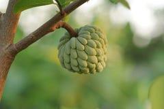 να αναπτύξει κρέμας μήλων δέν Στοκ Εικόνες