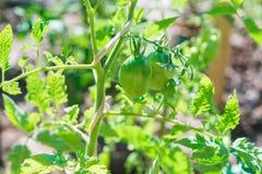να αναπτύξει κλάδων ντομάτες Στοκ εικόνες με δικαίωμα ελεύθερης χρήσης